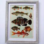 Oprawiona stara rycina – ryby #1