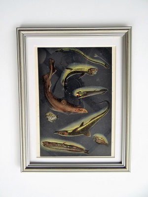 Oprawiona stara rycina – ryby #2