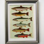 Oprawiona stara rycina – ryby #3