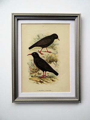 Oprawiona litografia – ptaki #4