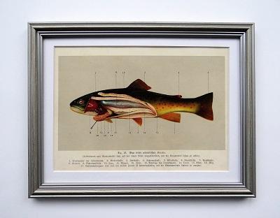 Oprawiona stara rycina – ryby #6