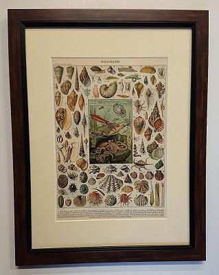Stara litografia – Muszle